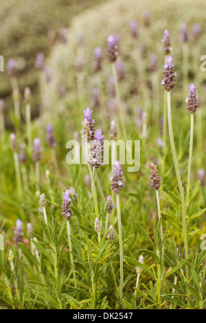 Close up of lavender growing in garden - Stock Photo