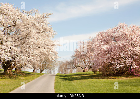Pink and white blossoms on spring trees along path - Stock Photo