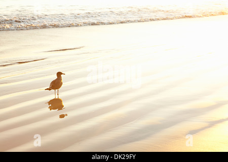 Seagull standing in ocean surf at sunset - Stock Photo