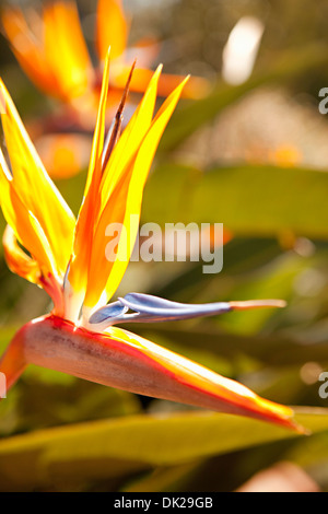Close up of bird of paradise flower in sunny garden - Stock Photo