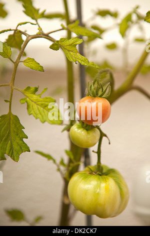Close up of organic tomatoes ripening on vine in garden - Stock Photo