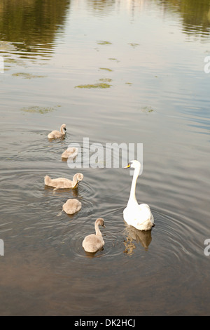 High angle view of swan with cygnets on pond, St. James Park, London, England, United Kingdom - Stock Photo