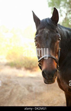 Close up portrait of brown horse - Stock Photo
