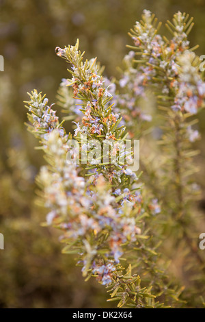 Close up of purple flowers blooming on rosemary plant - Stock Photo