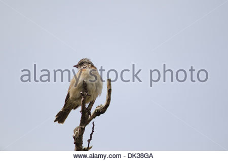Rufous-collared Sparrow (Zonotrichia capensis) sitting on branch. - Stock Photo
