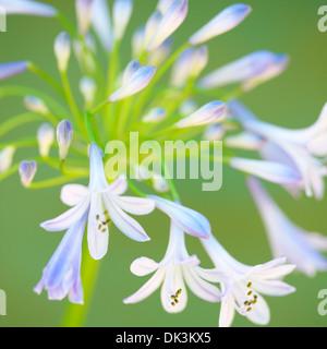 gorgeous agapanthus portrait, the flower of love  Jane Ann Butler Photography  JABP847 Stock Photo