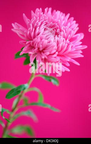 graceful pink aster  Jane Ann Butler Photography  JABP859 - Stock Photo
