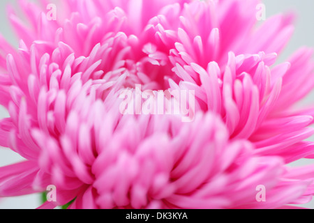 sweet flowing pink aster in full bloom  Jane Ann Butler Photography  JABP860 - Stock Photo