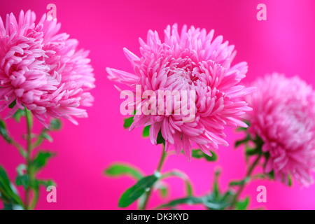 adorable pink asters  Jane Ann Butler Photography  JABP856 - Stock Photo