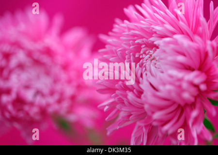 adorable pink asters  Jane Ann Butler Photography  JABP857 - Stock Photo