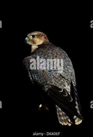 Female Common Kestrel.Falco tinnunculus - Stock Photo