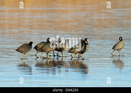 flock of coots ( fulica atra ) walking on frozen surface of the lake - Stock Photo