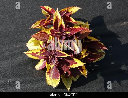 Dark Red and Yellow Coleus, Solenostemon scutellarioides, Lamiaceae. Garden Cultivar. Native to south east Asia - Stock Photo