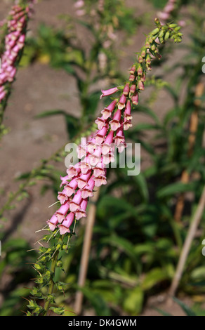Foxglove, Digitalis grandiflora, Scrophulariaceae. Cultivar. - Stock Photo