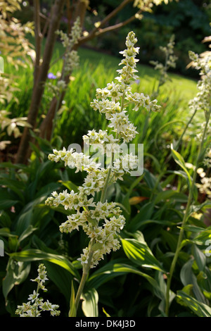 False Helleborine, White Hellebore, European White Hellebore, White Veratrum, Veratrum album, Melanthiaceae. Europe, - Stock Photo