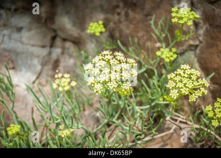 Yellow Rock Samphire (crithmum) growing wild on rock. - Stock Photo