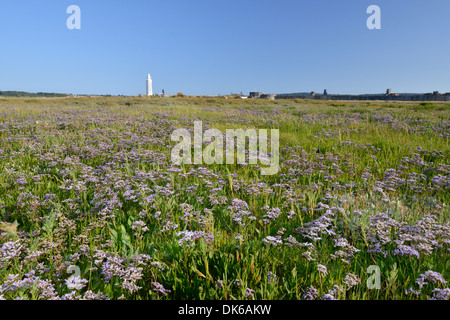 COMMON SEA-LAVENDER Limonium vulgare (Plumbaginaceae) - Stock Photo