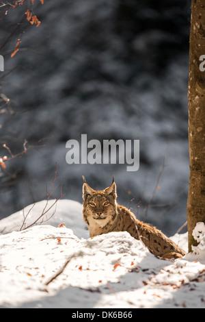 Eurasian lynx (Lynx lynx) in snow, Bavarian Forest National Park, Germany - Stock Photo