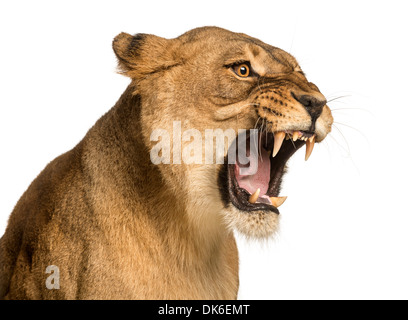 Close-up of a Lioness roaring, Panthera leo, 10 years old, against white background - Stock Photo
