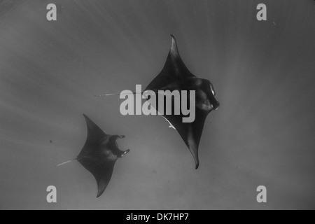 Manta rays in the Maldives - Stock Photo