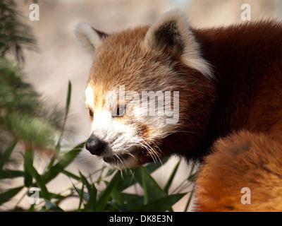 red panda, Ailurus Fulgens, - Stock Photo