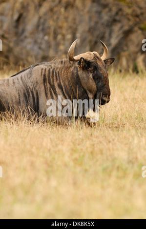 Vertical portrait of Blue wildebeest, Connochaetes taurinus, lying down in grassland