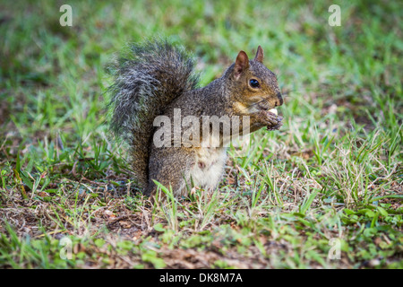 Eastern gray squirrel (Sciurus carolinensis) sitting on grass lawn and eating - Stock Photo