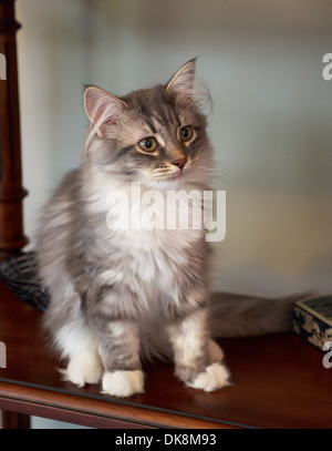 Siberian Forest Cat, kitten - Stock Photo