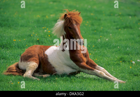 Icelandic horse, Islandpony liegend, - Stock Photo