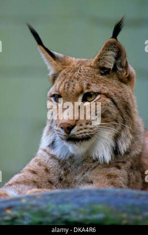 Eurasian lynx (Lynx lynx), Europäischer Luchs, Eurasischer Luchs (Lynx lynx) - Stock Photo