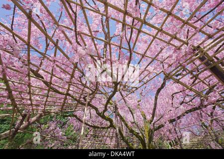 Cherry blossoms, Kyoto - Stock Photo