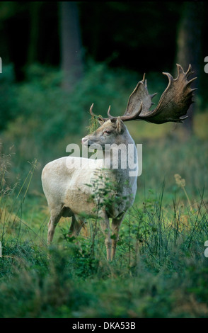 Fallow deer (Dama dama), rut, Damhirsch (Dama dama), Brunft, Damwild, - Stock Photo