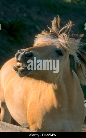 Fjord horse, Norwegian Fjord Horse, norwegisches Fjordpferd - Fohlen, Norweger, Fjordinger, Fjordpferd oder Fjordpony - Stock Photo