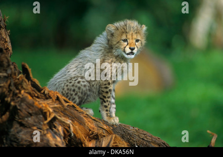 cheetah (Acinonyx jubatus), Gepard - Baby zwei Monate alt, Gepard (Acinonyx jubatus) - Stock Photo