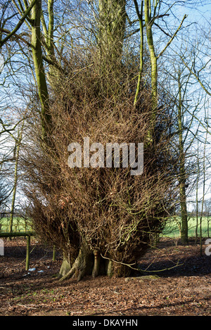 Dense basal growth at foot of a beech tree in UK - Stock Photo