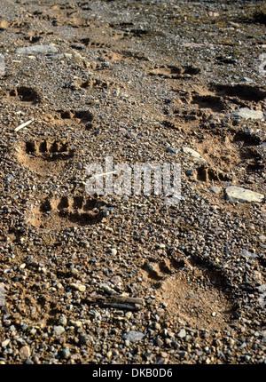 Footprint of the brown bear, brown bear (Ursus arctos), Fußspur des Braunbärs, Braunbär (Ursus arctos) - Stock Photo