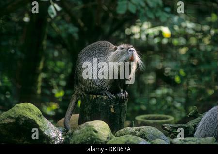 Coypu (Myocastor coypus), nutria, Biberratte (Myocastor coypus), Nutria - Stock Photo