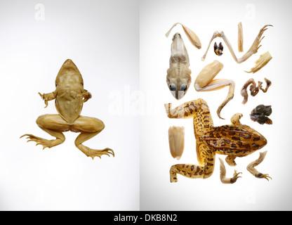 Frog and kit to make frog - Stock Photo