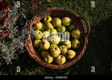 Sweet quinces in basket - Stock Photo