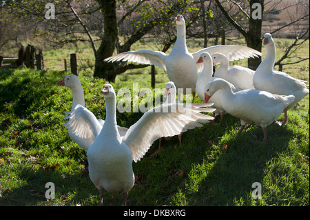 Hausgaense (Anser anser domestica) Devon, England Europa | Domestic Geese (Anser anser domestica) Devon England - Stock Photo