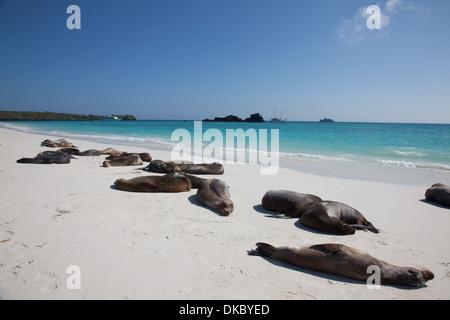 Galapagos Sea Lion Zalophus californianus sleeping - Stock Photo