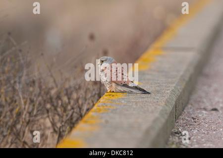Common kestrel (Falco tinnunculus). Male perching on sea wall, Reculver, Kent - Stock Photo