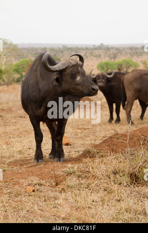 African buffalo (Syncerus caffer) in the Kruger National Park, South Africa - Stock Photo