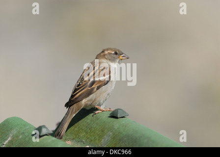 House sparrow (Passer domesticus). Female perched on roof - Stock Photo