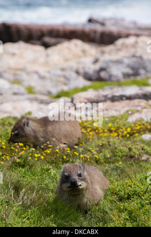 Rock Hyrax (Dassie) in Hermanus, Western Cape, South Africa - Stock Photo