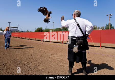 Oct. 21, 2011 - Poway, California, USA -  A falcon flies to the arm of trainer Rick Holderman during a demonstration - Stock Photo