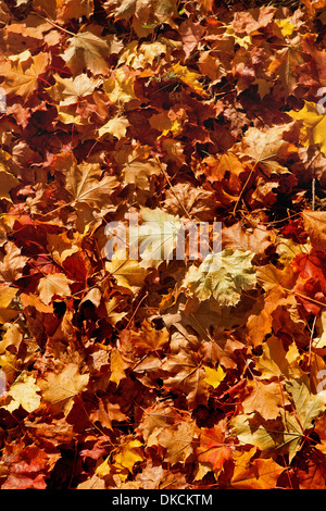 Maple tree leaves changing colours in Autumn. New England, USA. - Stock Photo