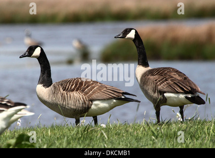 Two Canadian Geese (Branta canadensis) with wetlands in the background - Stock Photo