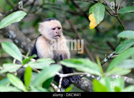 An anxious looking white faced capuchin monkey (Cebus capucinus) pauses while feeding. Drake Bay, Corcovado National - Stock Photo