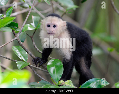 A young white faced capuchin monkey (Cebus capucinus) pauses while feeding. Drake Bay, Corcovado National Park, - Stock Photo